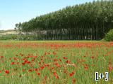 Terrenos de cultivo con amapolas y alameda del pueblo