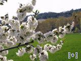 Nuestros almendros en flor